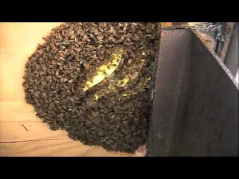 Two Honey Bee Colonies Removed From Fishing Camp