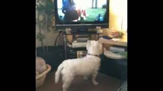 West Highland Terrier Howling At Tv