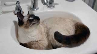 Siamese Cat Loves Water