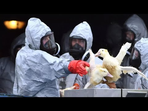 На Россию надвигается новый штамм птичьего гриппа