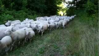 White Dorper Sheep passing through the woods