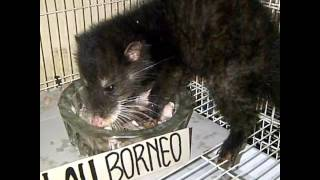 Musang Air Cynogale Bennettii Borneo Kalimantan Youtube