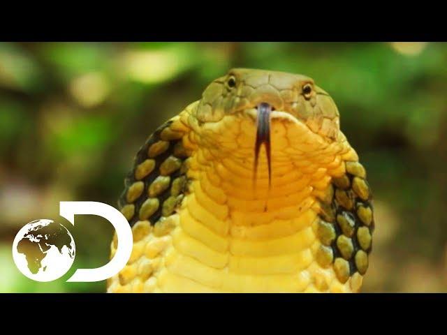 La serpiente más larga del mundo es capaz de comerse un cervatillo entero
