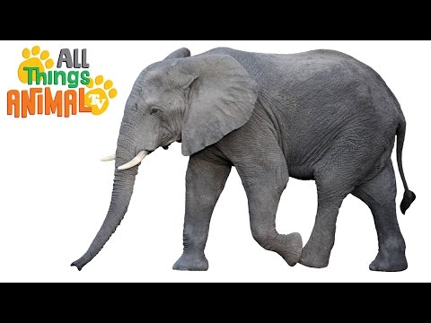 Thumbnail: ELEPHANTS: Animals for children. Kids videos. Kindergarten | Preschool learning
