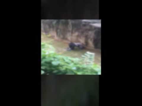 Cincinnati zoo kills gorilla to save boy who fell into enclosure HD Original 1 1
