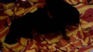 cuccioli zwergpinscher iperattivi già dalle prime ore del mattino