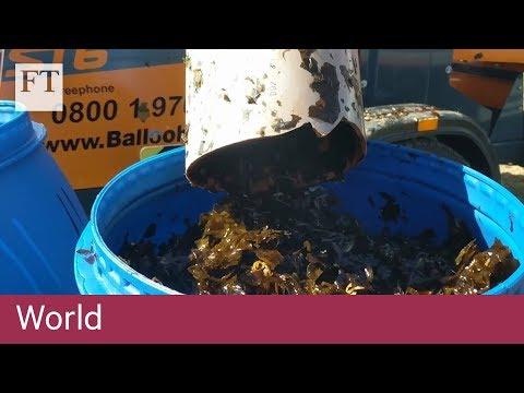 Rich harvest from ocean as seaweed yields biofuel bonus