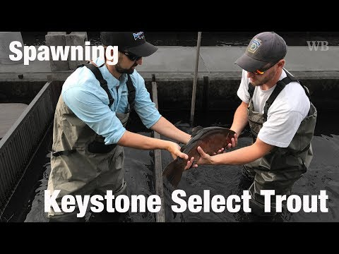 WB - Spawning Keystone Select Trout, Carlisle, PA - July '17