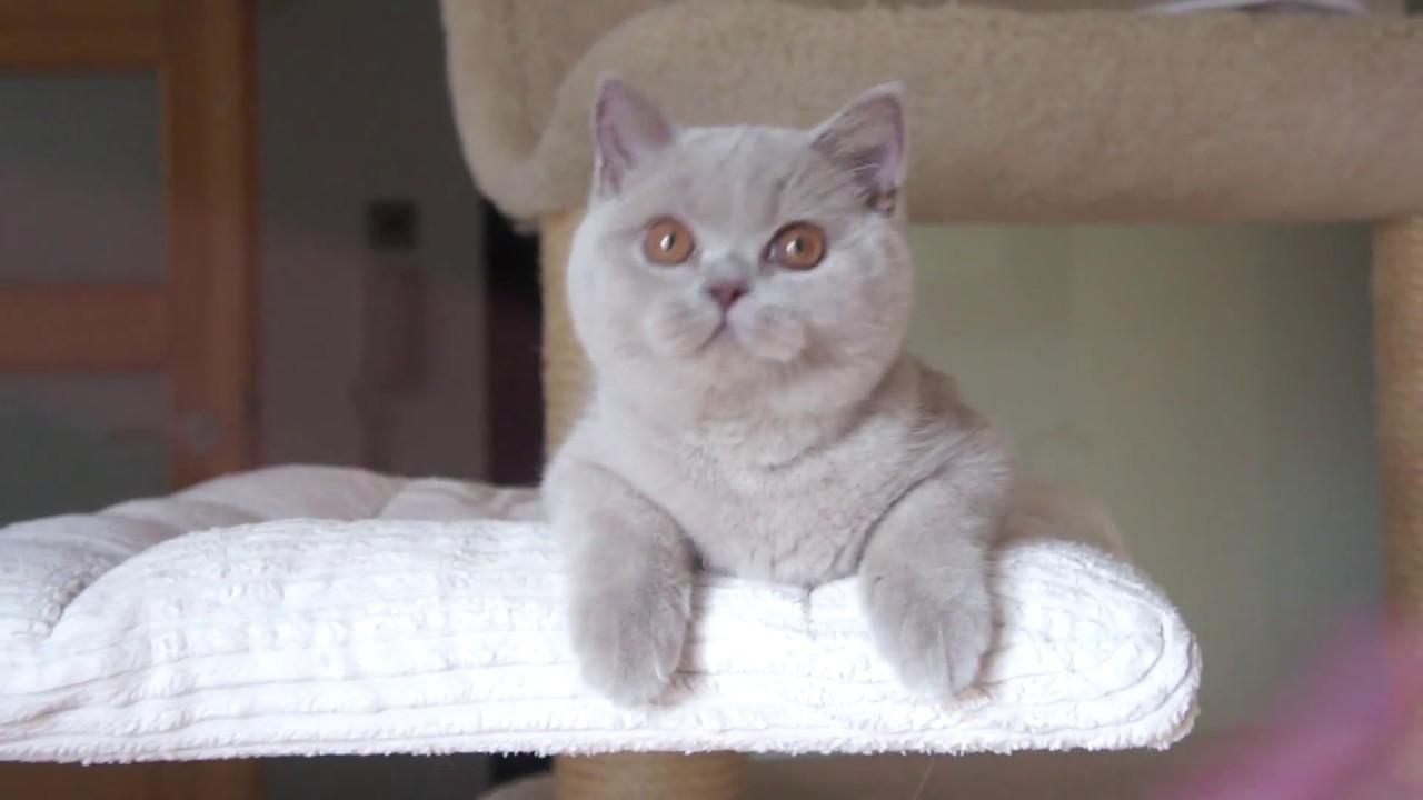 Kot Brytyjski Liliowy Fantasia Mam 45 M Ca British Shorthair