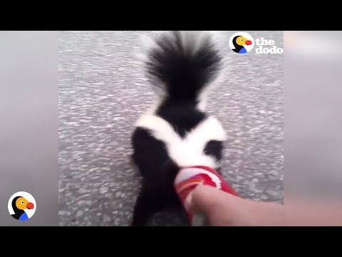 BRAVE Guy Rescues Skunk Before Important Meeting With the Mayor | The Dodo