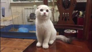 Шотландский вислоухий котенок колорпоинт