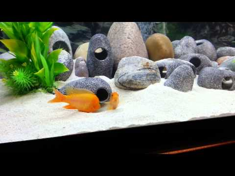 My african cichlids cross breeding