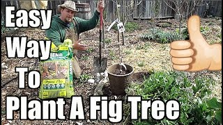 Easy Way To Plant A Fig Tree!