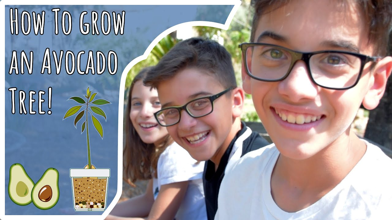 ★The Kindergardeners teach How to Grow an Avocado tree from Seed!