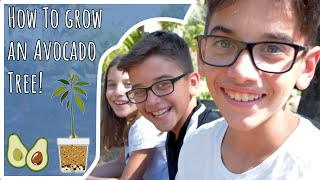 ★The Kindergardeners teach How to Grow an Avocado tree from Seed!