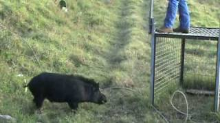 Pig Trap in Hawaii Releasing Boar After Castration