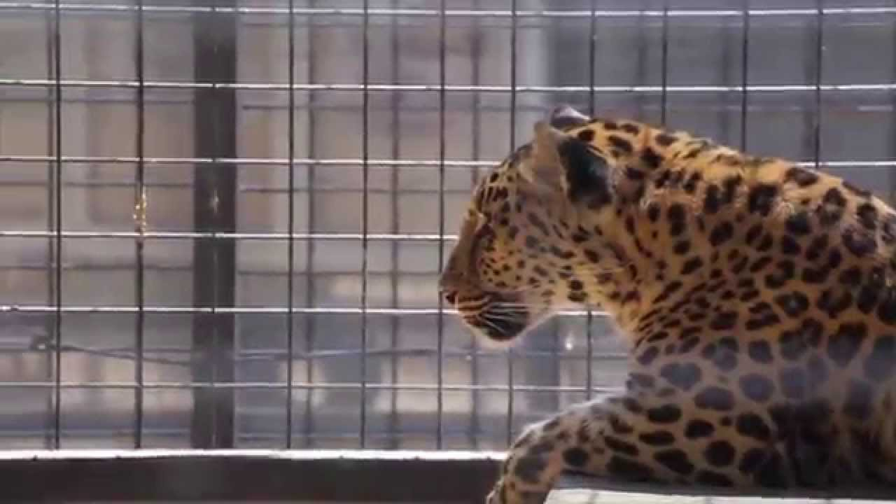The Cat House: Tigers, Jaguars and Leopards in Rosamond