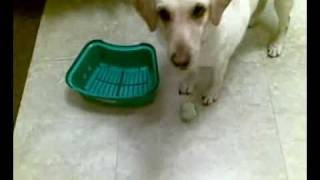 Labrador Retriever Training - How To Train Your Labrador Retriever - Labrador Puppy Training