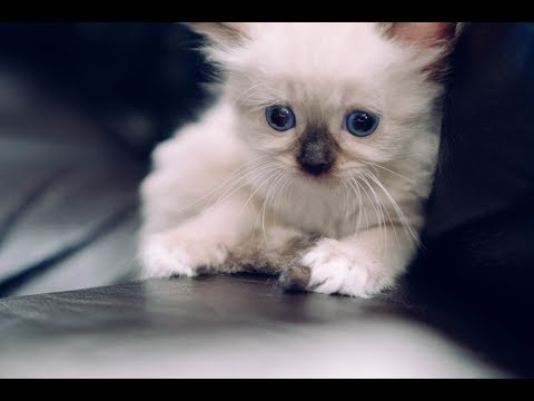 Adorable Kitten Ragdoll and Father cat