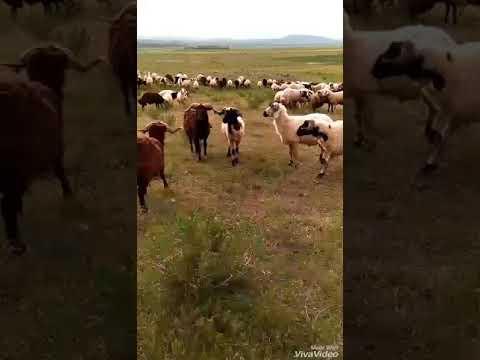 koçların ölümüne savaşı