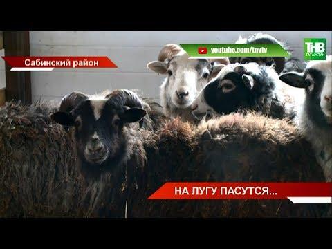 Сабинский фермер возродил овцеводство в маленькой деревне Юлтаб | ТНВ