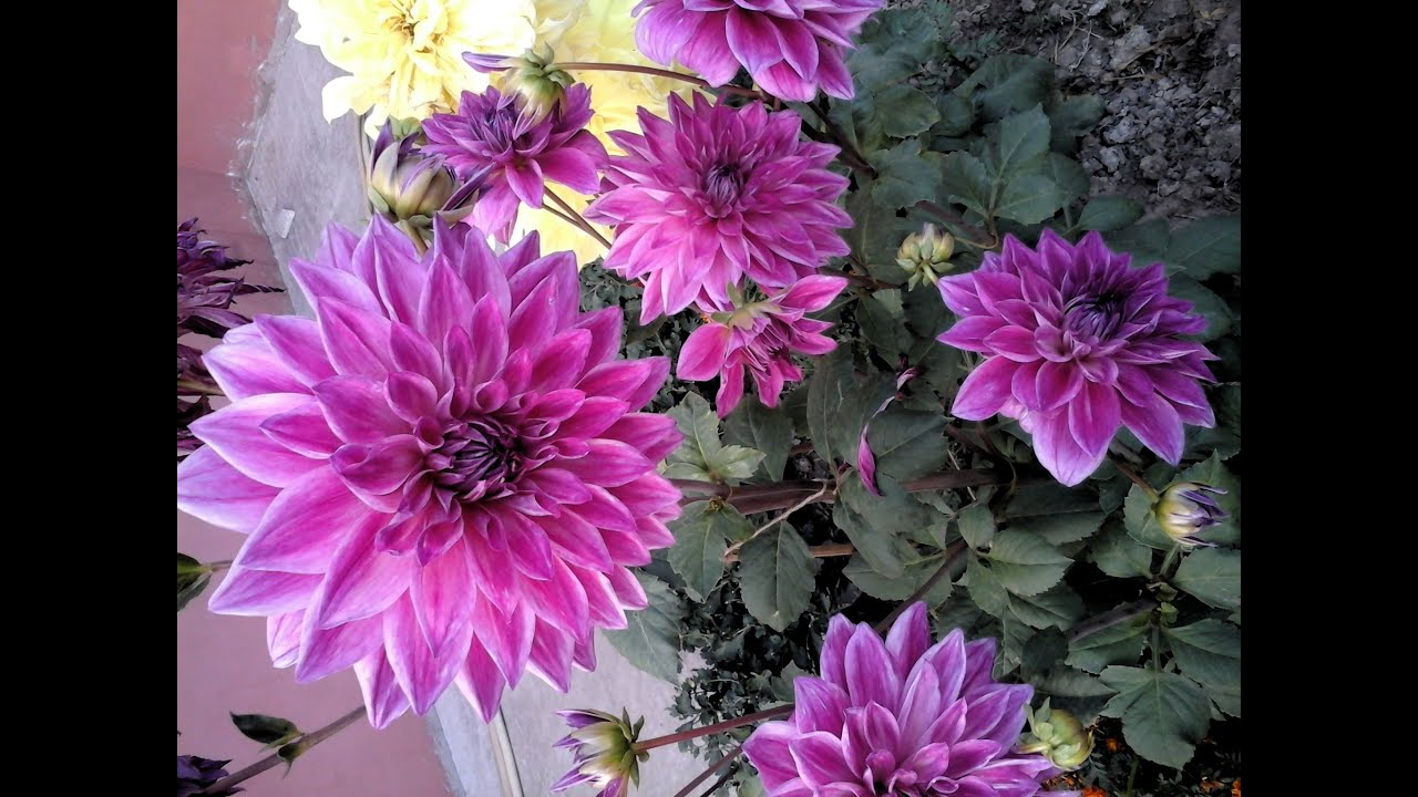how to create dahlia plants from it s branches youtube