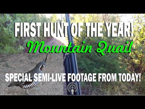 FIRST HUNT OF THE YEAR | MOUNTAIN QUAIL Special Semi-Live Footage From Today!