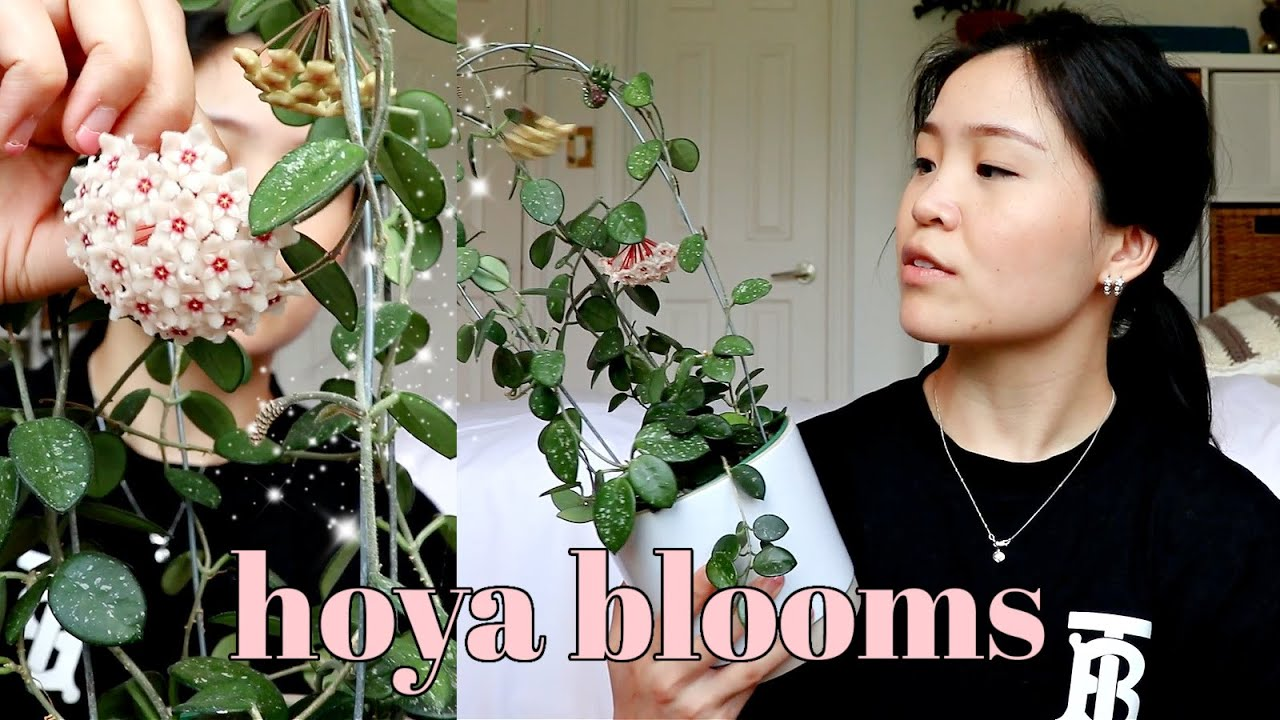 Download 6 Tips and Tricks to get Hoya Flowers / Blooms