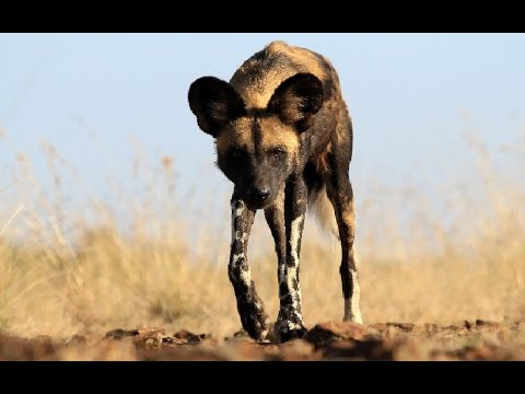 Amazing Facts About The African Wild Dogs