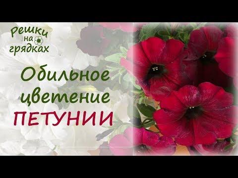 Как ухаживать летом за петунией Чем подкормить петунию Болезни и вредители петунии