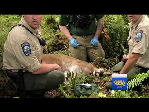 1 person killed, 1 injured in mountain lion attack in Washington state.