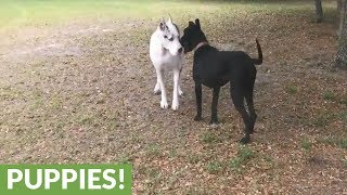 Adopted Great Dane's first free run off leash