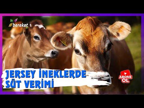 @Bereket TV  Benim Çiftliğim - Jersey İneklerde Süt Verimi