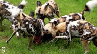 Жесть Нападение животных на людей