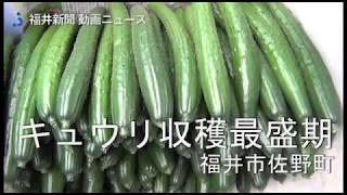 代表的な夏野菜の一つ、キュウリの収穫が、福井県福井市佐野町のビニー...