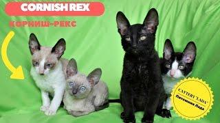 КОТЯТА КОРНИШ-РЕКС  НА ПРОДАЖУ/ Cornish Rex kittens for SALE