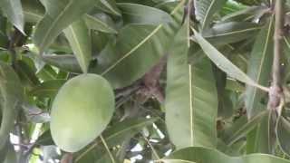 5 Amazing Benefits of Mangoes