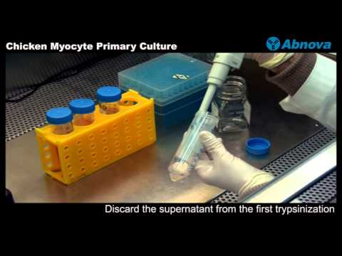 Chicken Myocyte Primary Culture
