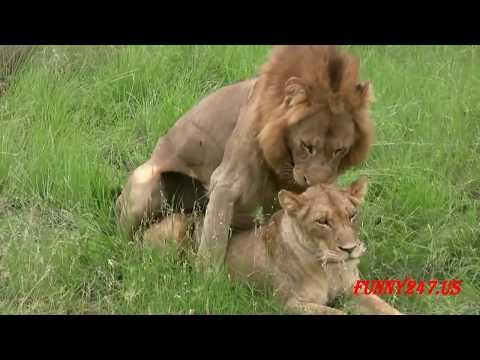 交配動物  // セックスの動物 // ライオン、バッファローの交配