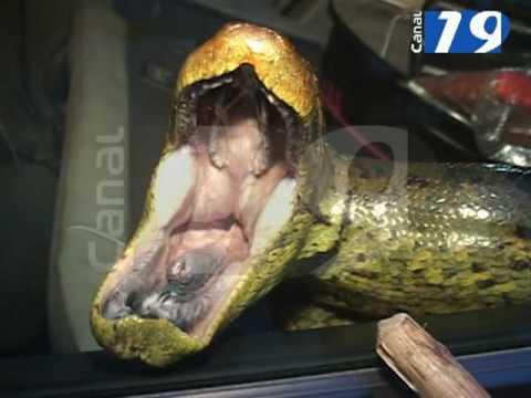 Anaconda Encontrada en Iquitos .mpg
