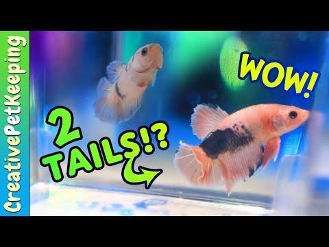 $7,000 Rare Betta Fish Pair | AQUASHELLA DALLAS