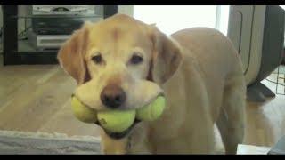 盲導犬のイメージがあり、大人しいと思われるラブですが 実際はかなりの...
