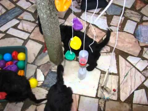 Portuguese Water Dog Puppies 8 wks