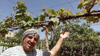 تقليم شجرة العنب بالربيع. Spring Vineyard Pruning.Poda del viñedo de primavera