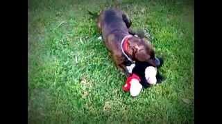 American Pitbull Terrier - Karma - 11 Months Old.