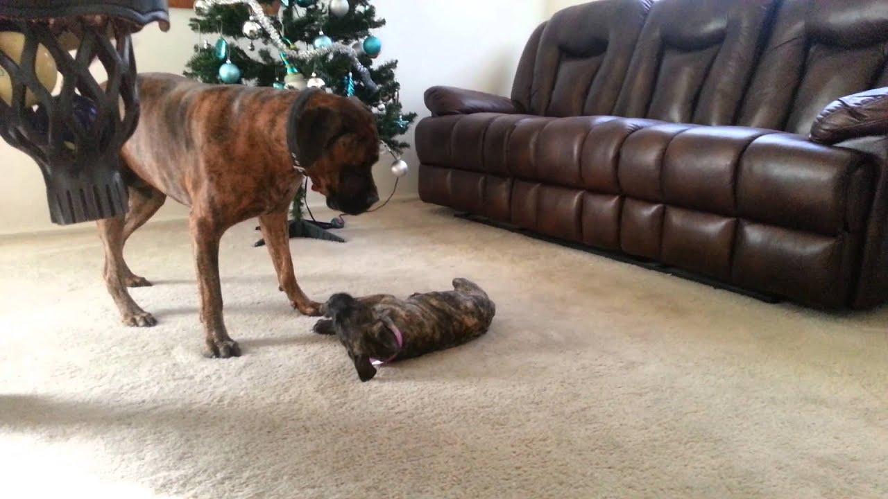 Giant Bull Mastiff Bullmastiff puppy play...