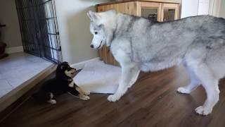 「は、はじめまして!」生後6週間の柴犬と先輩ハスキー、初対面の瞬間