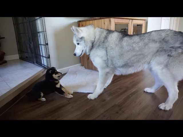 Husky and Shiba Inu Puppy Meet for the First Time!