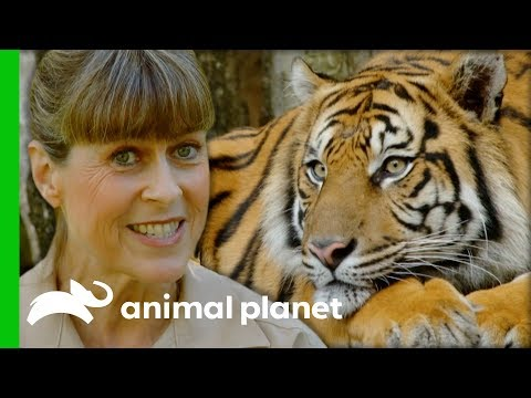 Terri Collects Poo Samples To Find Out If This Tiger Is Pregnant   Crikey! It's The Irwins
