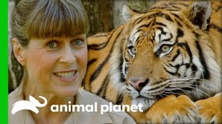 Terri Collects Poo Samples To Find Out If This Tiger Is Pregnant | Crikey! It's The Irwins